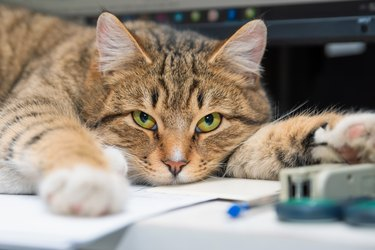 Cat lying on an office table among office supplies