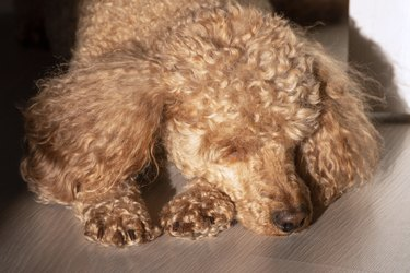 An apricot poodle with curly golden hair lies in the sunlight