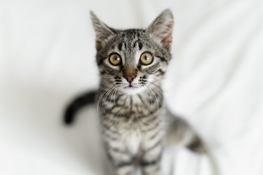 Close up of domestic small tabby kitten with big eyes. Curious cat lifestyle shot. Adorable cozy feline friend. Animal portrait with big eyes.