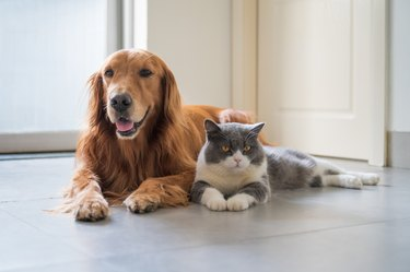 British Shorthair cat and Golden Retriever dog laying next to each other