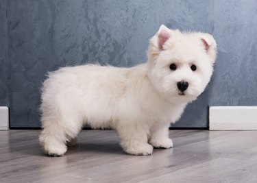 West Highland White Terrier on a grey background side view
