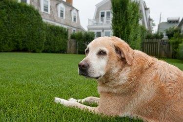 Old golden dog outside on grass