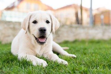 Labrador retriever sitting on grass