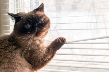 Cat is looking outside through window blinds