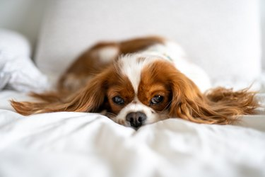 Cavalier King Charles Spaniel Napping In Bed