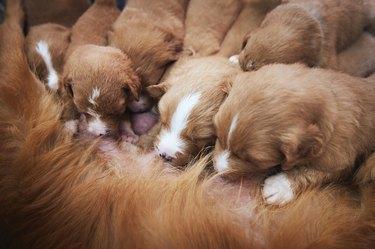 Female dog nursing cute puppies