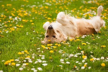 Dog playing and laying on his back in a field