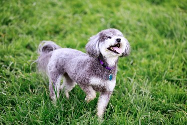 The schnoodle is a cross between schnauzer and poodle, Playing Tricks.