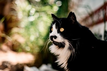portrait of beautiful long haired black with white markings cat