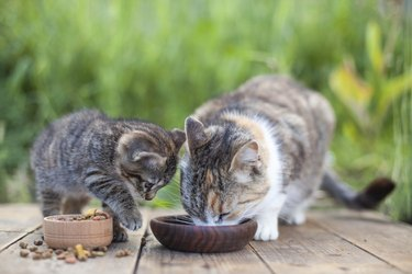 Mother cat and Kitten eating food from wooden cat bowls in spring garden