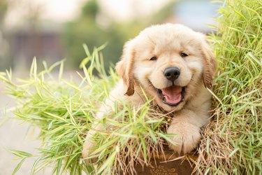 Cute puppy (Golden Retriever) eating small bamboo plants or Thyrsostachys siamensis Gamble in garden pot