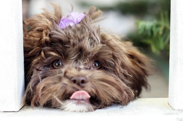 Little Shihpoo Puppy