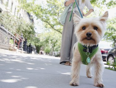 Small white dog in a green harness walked on a leash on city street