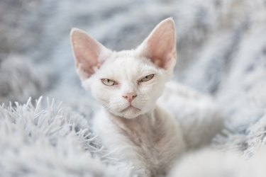 A grumpy white Devon Rex kitten