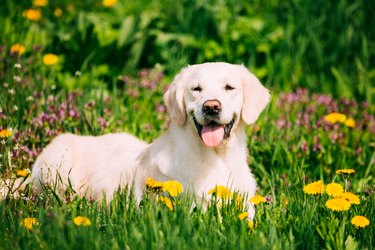 Funny Young Happy Labrador Retriever Sitting In Grass And In Yellow Dandelions Outdoor. Spring Season