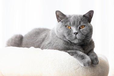British cat lying portrait