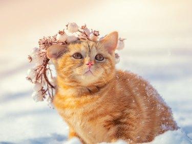 Portrait of a kitten in a Christmas wreath. Cat walks in the snow in winter