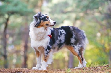 Australian Shepherd dog with a red harness staying in forest