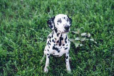 Dalmatian dog sitting on grass looking up