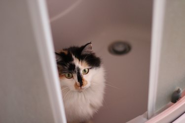 Fluffy Cat Peeking Through the Shower Cabin Doors in Bathroom. Funny Kitten with Yellow Eyes