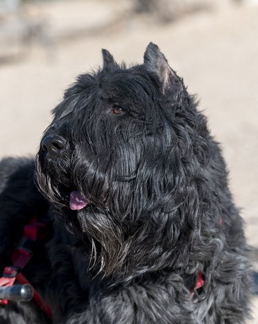 Close up head shot of a Bouvier Dog