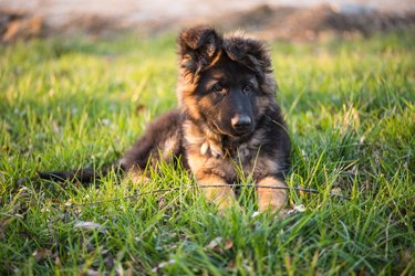 A German Shepherd puppy crawling on the grass.