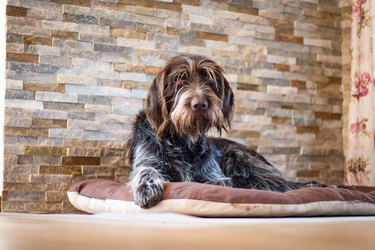 Tired Bohemian Wire-haired Pointing Griffon rests by the fireplace on a pillow and sadly looks at his masters to scratch her. Portrait Cesky fousek in Set Sail Champagne and antique white tones