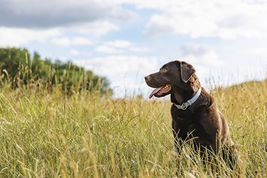 Portrait of a chocolate Labrador in the countryside
