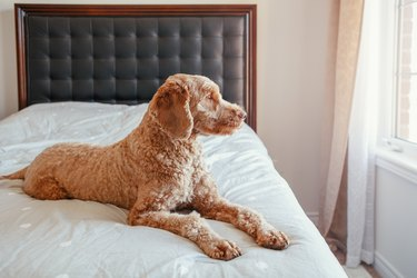 Sad Red-Haired Pet Dog Lying On Clean Bed In Bedroom At Home. Lonely Domestic Animal
