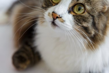 Muzzle, nose and mustache of a fluffy domestic cat