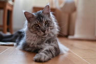 Maine coon cat (tabby cat)
