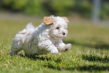 9 weeks running Havanese puppy!