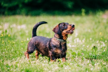 Dachshund dog known as wiener dog or sausage dog.