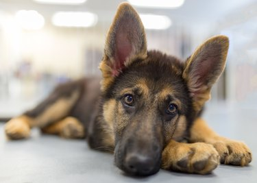 Close-up of a German shepherd puppy lying down