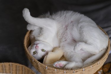 Playful white cat lying upside down in basket