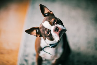 portrait of a Boston Terrier with his head cocked