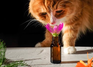 Ginger cat sniffing flower in bottle on black background