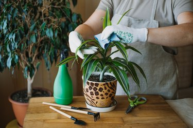 Repotting an indoor plant