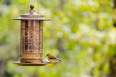 Yellow goldfinch bird at the bird feeder in the backyard.