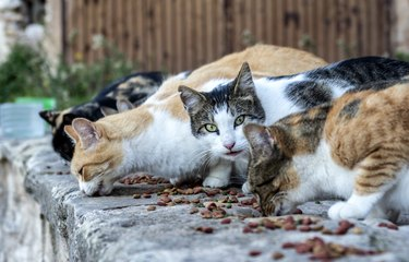 Group of stray cats eating feed on the street.