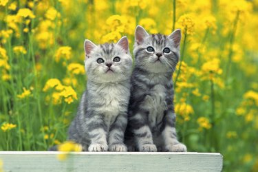 Two American Shorthair Cats Standing on a White Stool, Surrounded By Yellow Flowers, Front View, Differential Focus - stock photoAmerican Shorthair; is the most popular and most prevalent breed of American cat.