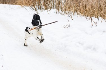 A dog plays with a stick outdoors on a frosty winter day. Young puppy of breed Russian Spaniel black and white color.