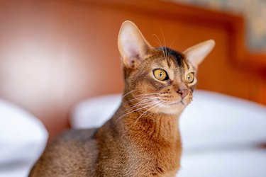 Close up portrait view of the cute Abyssinian purebred cat photo.