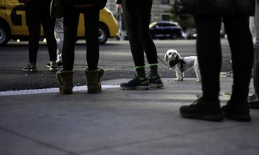small white dog on the streets of a big city