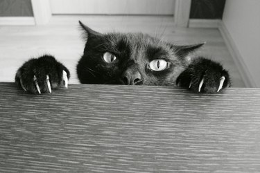 black cat clawing onto countertop