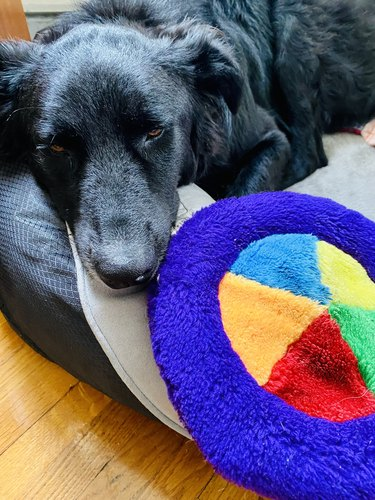 A black dog lying on a bed next to a toy, looking bored.