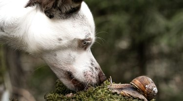 White dog sniffs african achatina snails outdoors