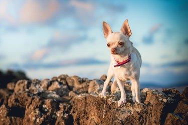 Portrait of chihuahua standing on rock against sky