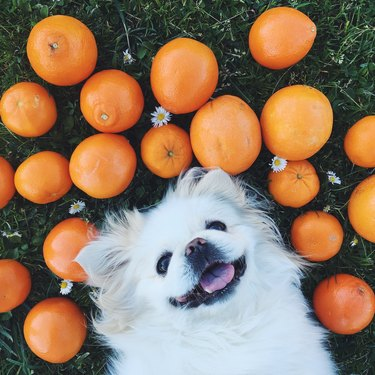 Close-Up Of Dog lying on a bunch of oranges