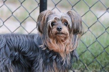 Adorable yorkiepoo dog